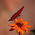 Orange Butterfly Orange Flower by Lori Tambakis
