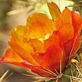 Orange Cactus Flower by Michelle Cassella