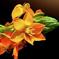 Orange Chincherinchee by Gitpix