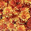 Orange Chrysanthemums by Kate Gallagher