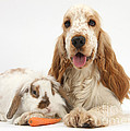 Orange Cocker Spaniel With Lop Rabbit by Mark Taylor