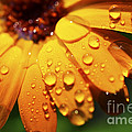Orange Daisy And Raindrops by Thomas R Fletcher
