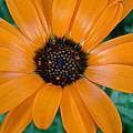 Orange Daisy by Diana Hatcher