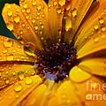 Orange Daisy In The Rain by Thomas R Fletcher