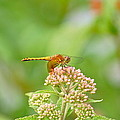 Orange Dragonfly by Mary McAvoy