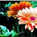 Orange Gerber Daisies by Elaine Plesser
