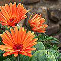 Orange Gerber Daisy by Tammy Ishmael - Eizman