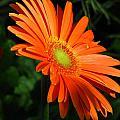 Orange Gerber by Paul Slebodnick