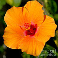 Orange Hibiscus by Mark Gilman