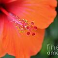 Orange Hibiscus by Sarah  Ellis