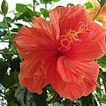 Orange Hibiscus by Saundra Lane Galloway
