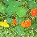 Orange Ivy by Jayne Kerr
