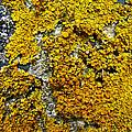 Orange Lichen - Xanthoria Parietina by Mother Nature