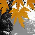 Orange Maple Leaves by Mary Mikawoz