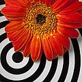 Orange Mum With Circles by Garry Gay