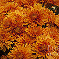 Orange Mums by Darleen Stry
