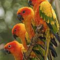 Orange Parakeets Chiang Mai Thailand by Stuart Corlett