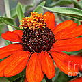 Orange Petals by Susan Herber