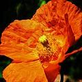 Orange Poppy by Bruce Bley