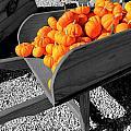 Orange Pumpkin Harvest by Betty Northcutt