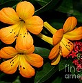 Orange Rhododendron Flowers by Sabrina L Ryan