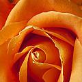 Orange Rose Close Up by Garry Gay