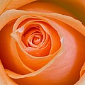 Orange Rose by Craig Tuttle