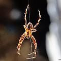 Orange Spider by Chriss Pagani