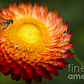 Orange Straw Flower With Guest by Clare Bambers