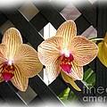 Orange Striped Orchids by Rose Santuci-Sofranko