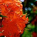 Orange by Susan Herber