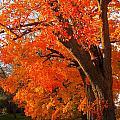 Orange Tree by Suzanne DeGeorge
