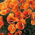 Orange Tulips by Neena Plant