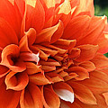 Orange Vanilla Dahlia by Susan Herber