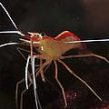 Orange White And Red Shrimp, Bali by Mathieu Meur