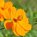 Orange Wildflower by Christine Stonebridge