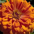 Orange Zinnia by Tikvah's Hope