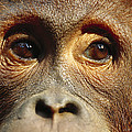 Orangutan Eyes Borneo by Cyril Ruoso