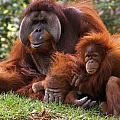 Orangutan Mother And Baby by Natural Selection Ralph Curtin