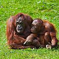 Orangutan Mother And Child by Gabriela Insuratelu