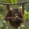Orangutan Pongo Pygmaeus Young Eating by Tim Fitzharris