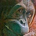 Orangutan by Richard Marquardt