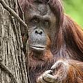 Orangutan by Wade Aiken