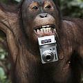 Orangutan With Tourists Camera by Hiroya Minakuchi
