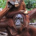 Orangutans by Mark Taylor