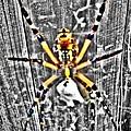Orb Spider by Glenda Graham