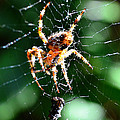 Orb Weaver And Lunch by Chriss Pagani