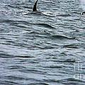 Orca Whales by Derek Swift