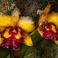 Orchid - Cattleya - Dripping With Passion  by Mike Savad