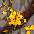 Orchid - Golden Morning  by Mike Savad